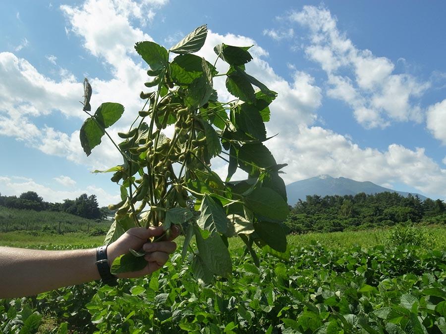 毛豆(早生種)、収穫しました