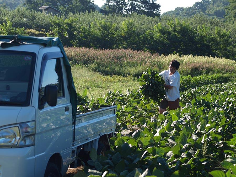 毛豆、弘前マルシェFORETで販売するため収穫