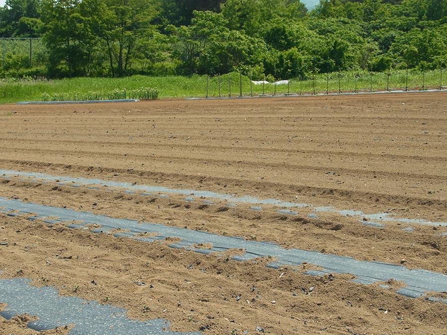 毛豆栽培 発芽1