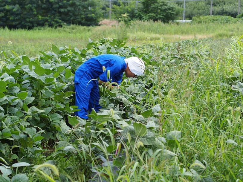 2013年8月29日毛豆研究会農園福丸収穫