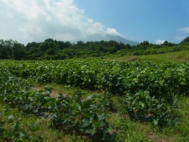 毛豆研究会農園8月12日の生育状況