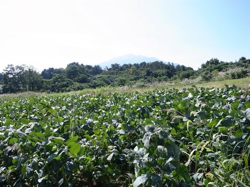 毛豆収穫開始!